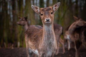 Curious deer