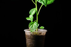 Seedling pepper on a black background