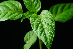 Seedling pepper on a black background
