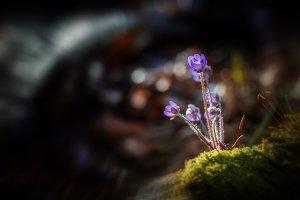 Hepatica flower in the spring