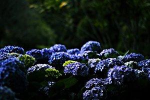 Sea of Blue Hydrangea
