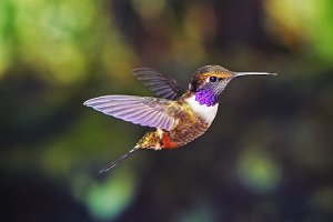 Colibri from Ecuador