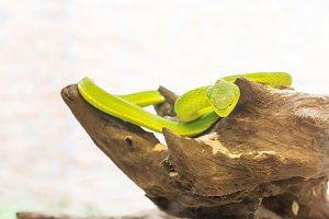 Snake,Green pit viper