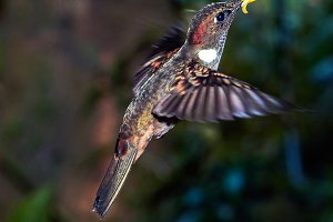 Colibri and a Flower