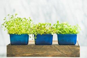 Radish kress, water kress and coriander sprouts on wooden box