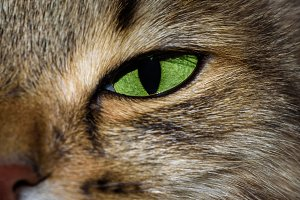 Close-up portrait of green eyed Siberian cat