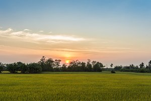 rice field and sunset