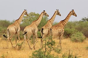 Giraffe Background - Wildlife Beauty