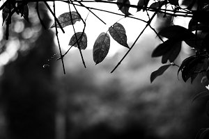 Dry Leaves - Black & White