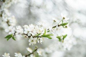 Cherry spring flowers
