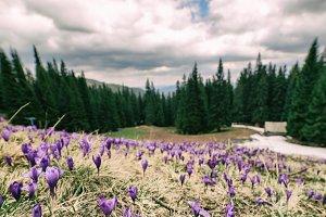 Landscape with crocuses