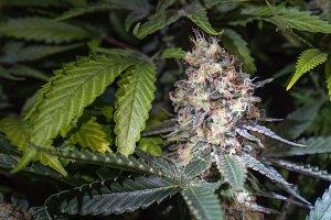 Closeup of a Marijuana Bud