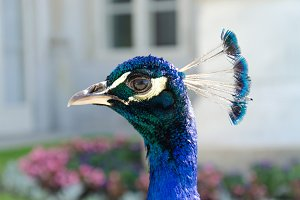 Peacock portrait in the park