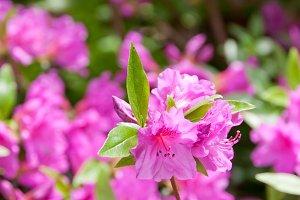Azalea flowers at spring.
