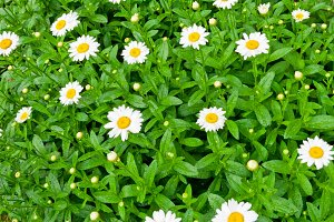 Daisies flowers in the garden