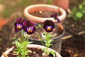 pansy flowers in the pots