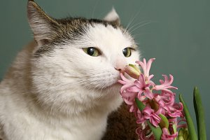 cat sniff pink hyacinth flowers