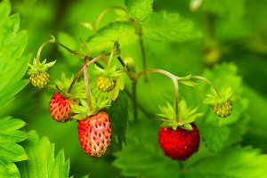 Wild strawberry berry