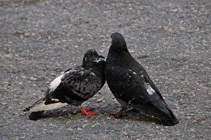 Two black doves
