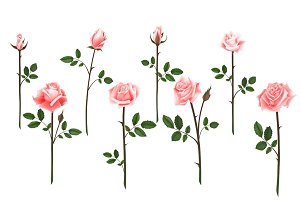 Set of realistic isolated pink roses on a white background. Vector flowers and buds of roses, leaves on white background