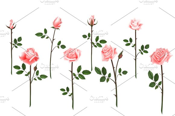 Set Of Realistic Isolated Pink Roses On A White Background Vector Flowers And Buds Of Roses Leaves On White Background