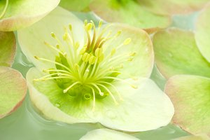 Hellebore Flower in water