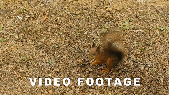 Squirrel Finds The Nuts In The Ground