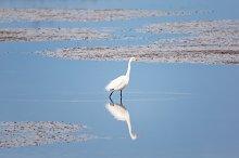 Wild Egret on the Atlantic Ocean, Florida, USA