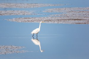 Wild Egret on the Atlantic Ocean, Florida, USA