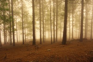 Foggy Enchanted Forest Pine Trees