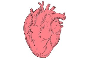 Human Heart Anatomy Drawing