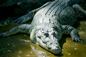 Nile Crocodile very closeup