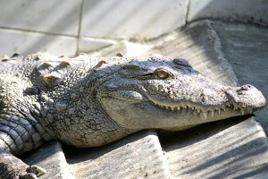 Nile Crocodile very closeup image