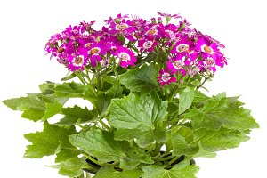 Flowers of cineraria isolated on white background
