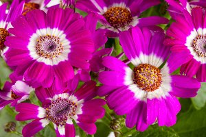 Pink flowers cineraria close up as background