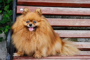 Spitz dog sitting on a bench close up