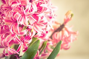 Pink fresh hyacinth close up.