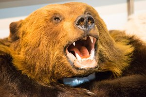 The head of a brown bear with bared teeth