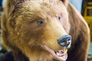 Bear's head with bared teeth