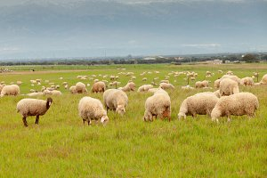 Sheeps grazing in the meadow
