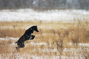 Black labrador jumping in the snow