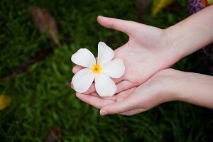 hand picking fresh frangipani flower