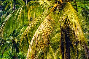 Palm with Big Branches in Amazing Tegalalang Rice Terrace, Ubud, Bali, Indonesia