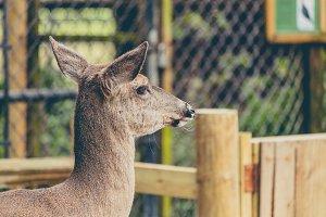 Female Deer Looking Away
