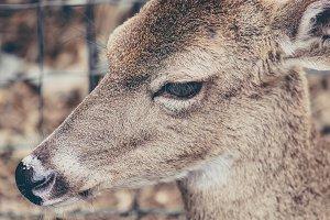 Female Deer Head