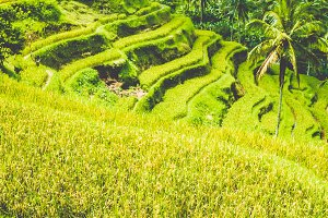Amazing Tegalalang Rice Terraces on Morning Sun, Ubud, Bali, Indonesia