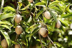sapodilla on Tree
