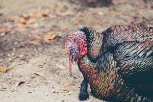 Sleeping Turkey II