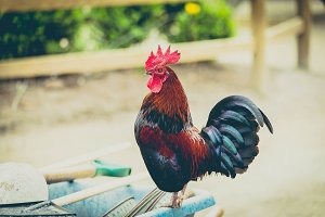 Rooster Standing on a Wheelbarrow