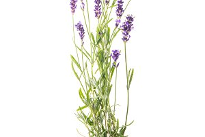 Lavender flowers isolated